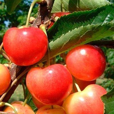 CZEREŚNIA VEGA bardzo duze owoce