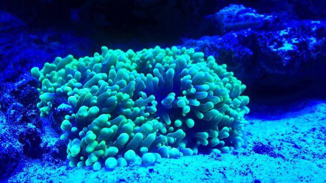 akwarium morskie Rhodactis Fluo