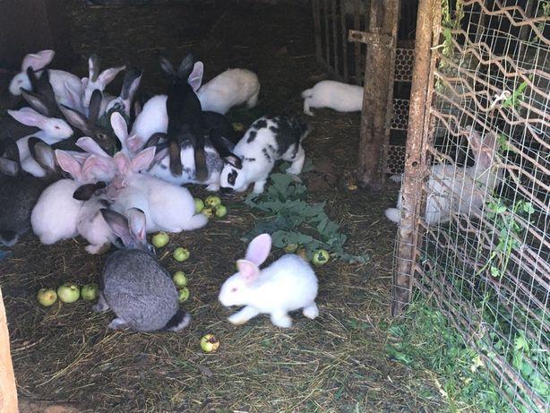 Продам кітні кролиці