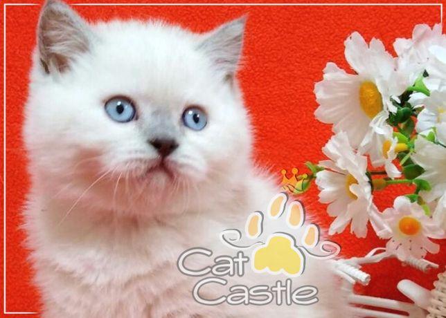 Шотландский кот - шикарный прямоухий мальчик