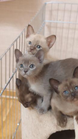 Котята бурма бурманская
