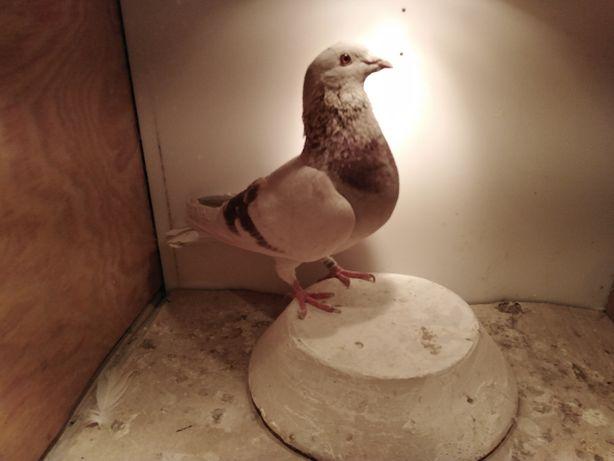 gołębie pocztowe standarty