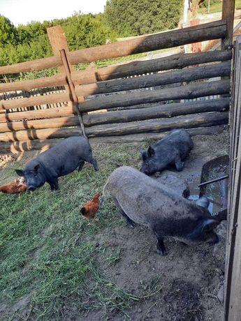продам свинину домашнюю со своей мини фермы