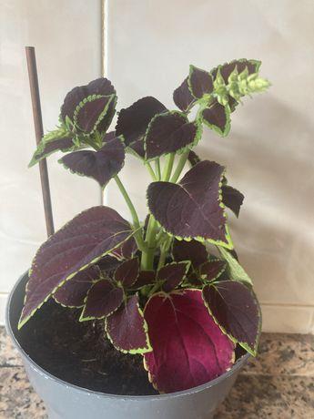 Vendo planta coleu