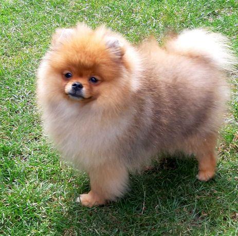 Szpic Miniaturowy Pomeranian . Śliczny piesek z rodowodem .