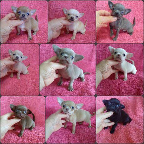 Кукольные щеночьки Чихуахуа. Разных окрасов.