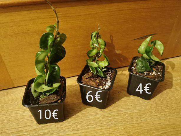 Hoya compacta - planta de interior