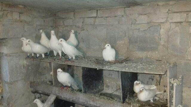 Białe pocztowe gołębie