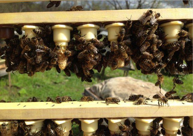 Тип Вучковский Плідні 2021 г. Бджолині матки Карпатской породы