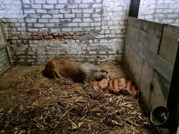 Кабанчики и свинки породы дюрок, чистокровные