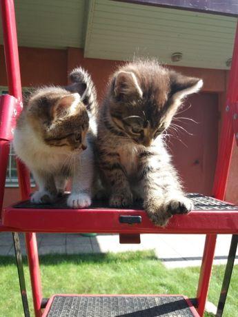 Отдам веселых жизнерадостных котят д.р 26.07 девочки