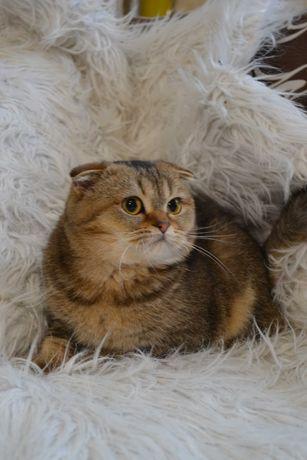 Вислоухие шиншиловые котята