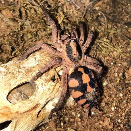 Ptasznik Hapalopus formosus SAMICA 3,5/4 DC