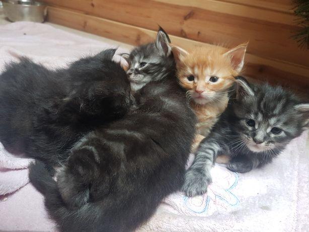 Koty rasowe Maine Coon FPL