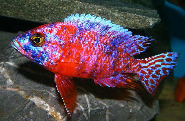 rybki pyszczaki Aulonocara calico