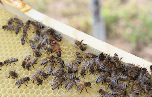Бакфаст Австрия Предлагаю 2021 года Пчелинные Матки f1 Мічені