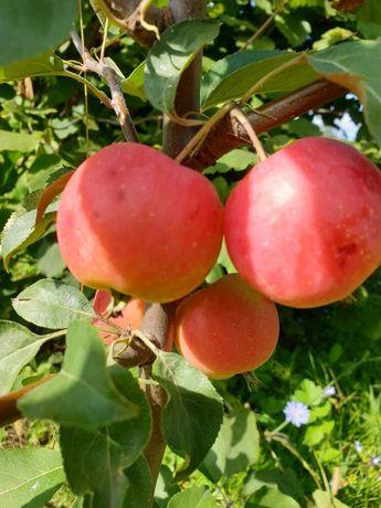 Яблоня райская, сортовая, готова к отправке