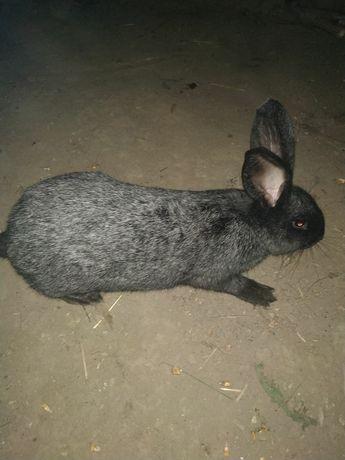 Кролики Полтавське срiбло