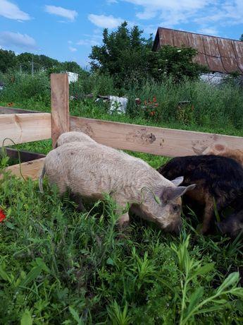 Мангалиця, мангалица, свині, поросята