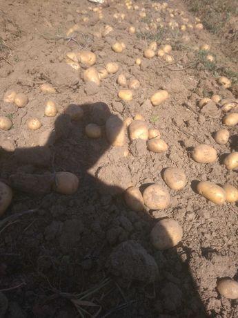 Ziemniaki Denar i Wineta