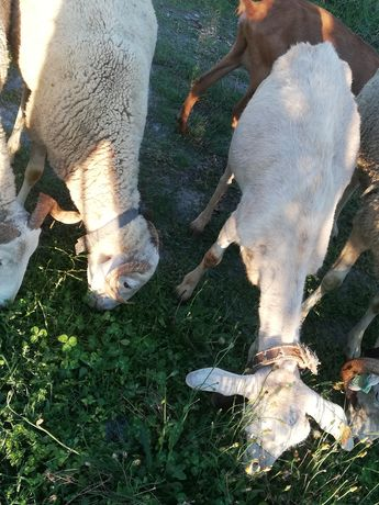 Troco cabra por ovelha /borregas