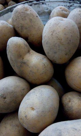 Ziemniaki gala jadalne
