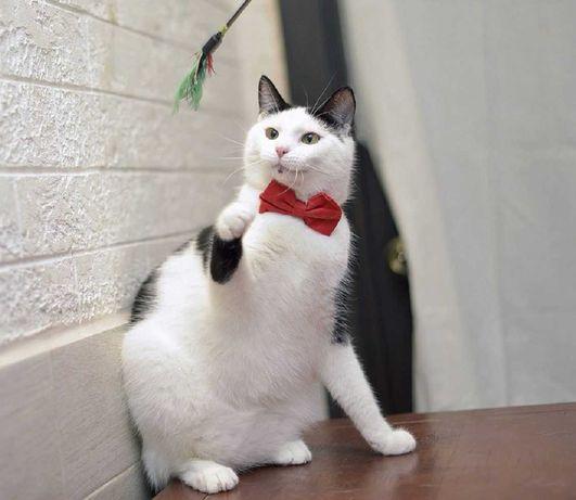 віддам кота, дуже ніжний, кампанєйський, кастрований