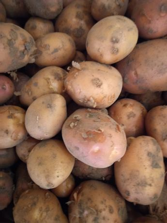 Ziemniaki młode belarosa
