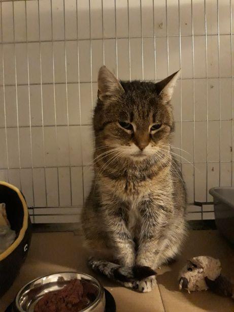 Piękna pręgowana kotka Graszka do adopcji