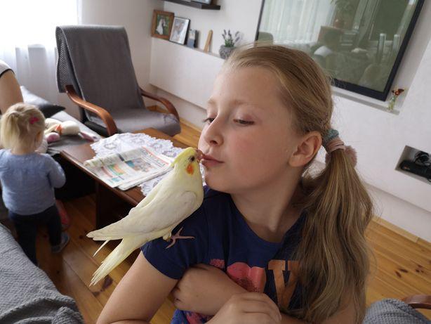Nimfy papugi ręcznie karmione
