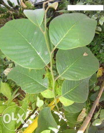 Pés de arvore de fruto Anona anoneira Physalis