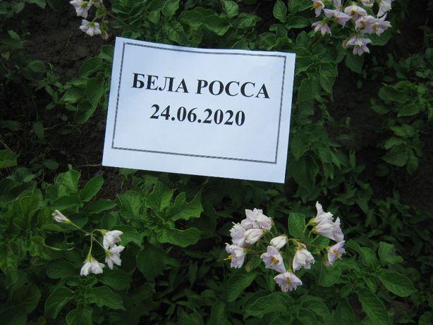 Картофель посадочный сортовой Бела Росса пересылка от 1 кг сезон 2021