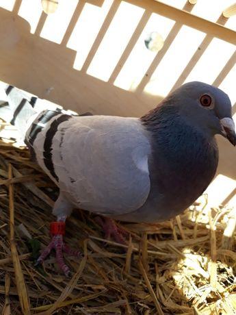 Gołębie Pocztowe samica DAN