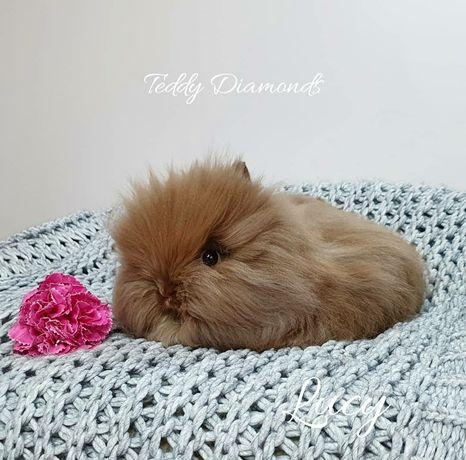 Króliczki Karzełki Teddy barwy havana