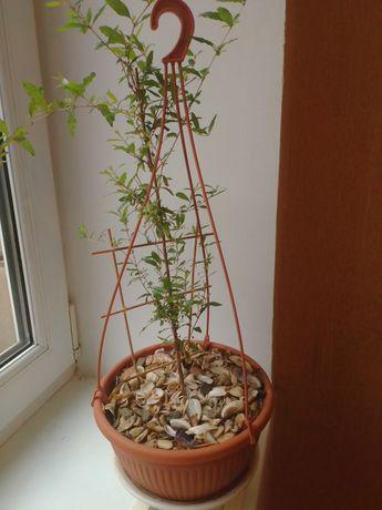 Комнатный гранат реальные фото цветущий в горшке плодоносящий 40 см