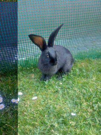 królik               osc