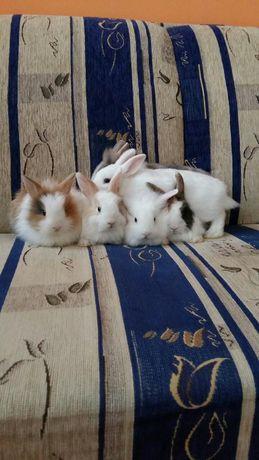 Sprzedam króliki miniaturki-Lewki