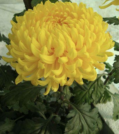 Корни маточники хризантемы
