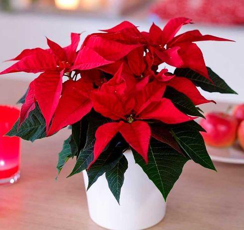 Пуансетия (рождественская звезда) комнатные цветы