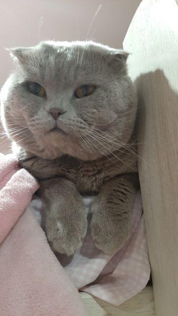 Шотландский вислоухий кот Миля примет кошечек на вязку