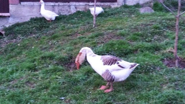 Продам сімю молодих гусей. 1 гусак і 2 гуски.