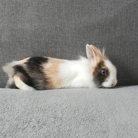 Miniaturka samiczka