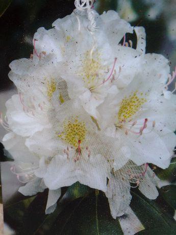 Rhododendron Różanecznik Madame Masson biały
