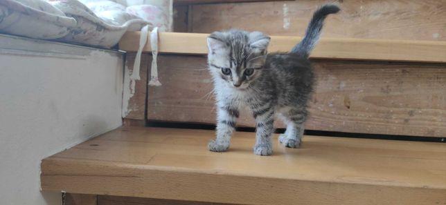 Котенок (кошечка, девочка) черепаховый окрас, БЕСПЛАТНО