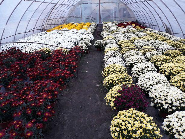Chryzantemy drobnokwiatowe