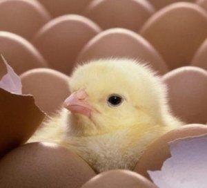 Инкубационные яйца кобб росс бройлер