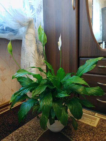 Комнатный цветок Спатифиллум
