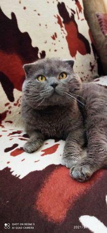 Кот британец приглашает на в'язку кошечку