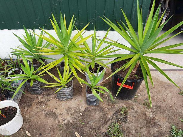 Palmeiras, Plantas decorativas Yuccas