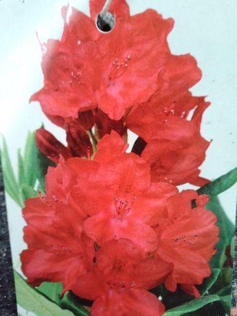 Rhododendron Nowa Zembla Różanecznik